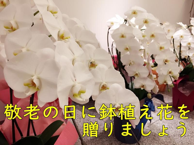 敬老の日に鉢植花がおすすめ