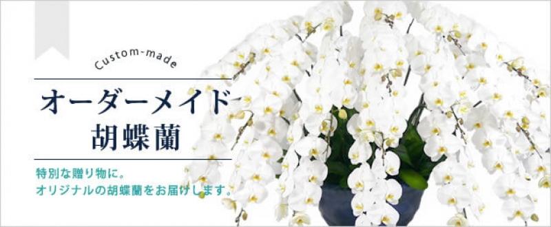 敬老の日に胡蝶蘭の鉢植え花を