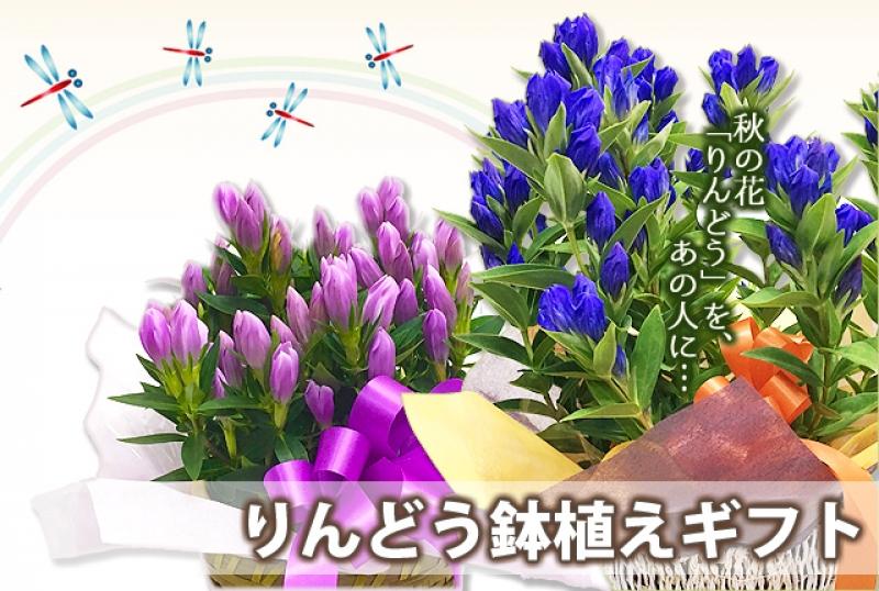 敬老の日にりんどうの鉢植え花を